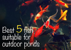 Best 5 Fish For Ponds