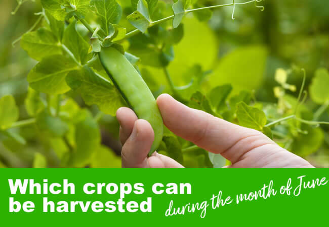 Which Crops Can You Harvest in June?